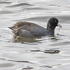 American coot: Fulica americana, Birds, British Columbia, CA, Deer Lake Park, Metro Vancouver District