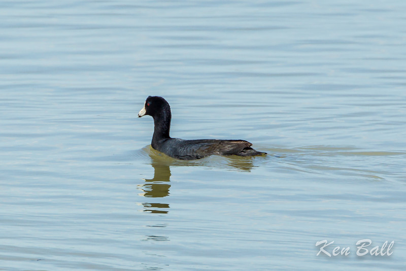 Alfred Lagoons, American coot: Fulica americana