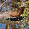 Constance Bay, Virginia rail: Rallus limicola