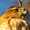 Coopers Hawk - Headshot