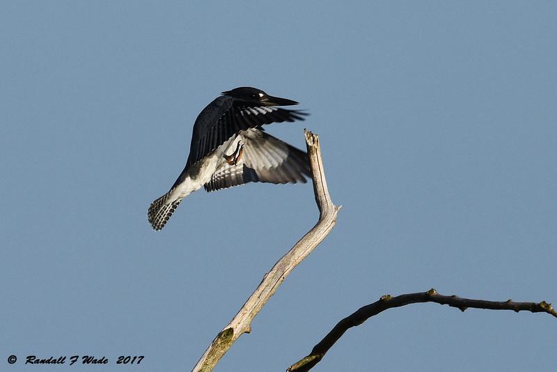Landing Belted Kingfisher