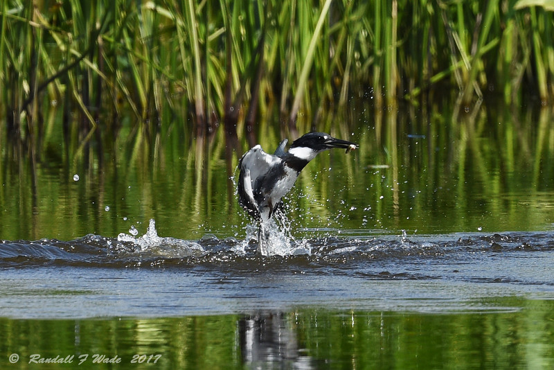 Emerging Kingfisher 2