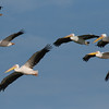 Eurasian great white pelicans שקנאים לבנים בנדידת סתיו<br /> autumn migration