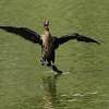 pygmy cormorant-juvenile  קורמורן גמדי-צעיר