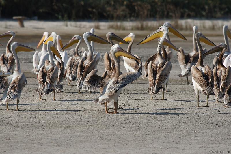 Eurasian great white pelicans (juveniles) שקנאים לבנים (צעירים) בנדידת סתיו<br /> autumn migration