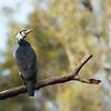 great cormorant summer plumage  קורמורן גדול בלבוש דגירה