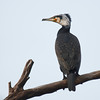 great cormorant summer plumage  קורמורן גדול בלבוש דגירה