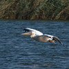 Eurasian great white pelican שקנאי לבן בנדידת סתיו<br /> autumn migration