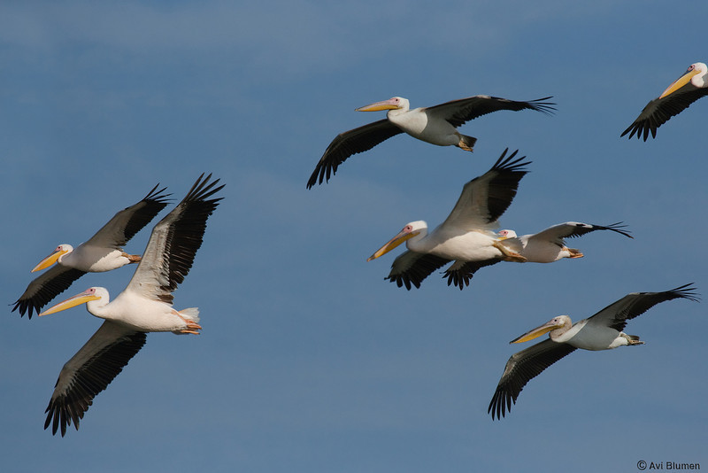 Eurasian great white pelicans שקנאים לבנים בנדידת סתיו<br /> autumn migration