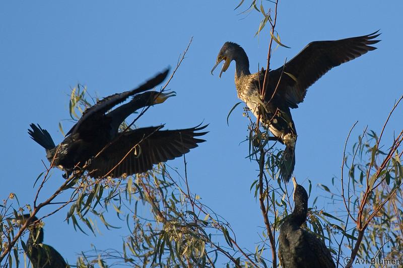great cormorant juveniles   קורמורן גדול צעירים