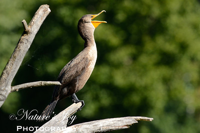 Double Crested Cormorant