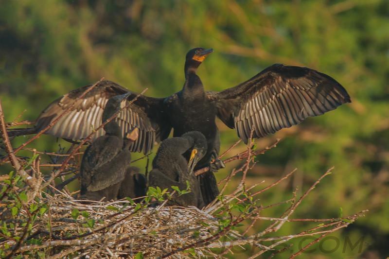 Double Crested Cormorant (b0185)