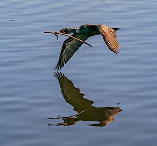 Cormorant Wingtip Wing Dip