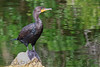 Double Creasted Cormorant (b0184)