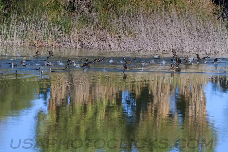 Double Crested Cormorant (b0183)