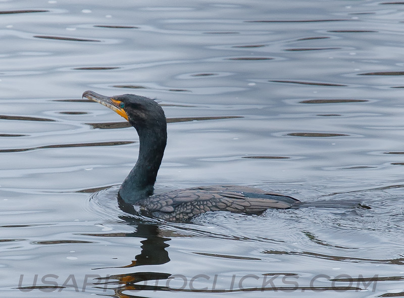 Double Crested Cormorant (b0181)