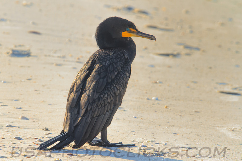 Double Crested Cormorant (b0182)