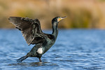 Great Cormorant / Black Shag (Phalacrocorax carbo)