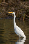 Great Egret / White heron (Ardea alba modesta)