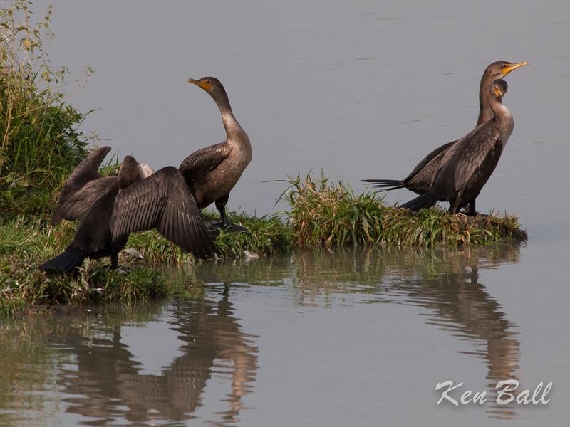 double-crested cormorant: Phalacrocorax auritus, Avalon north pond