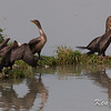 double-crested cormorant: Phalacrocorax auritus, Avalon north pond