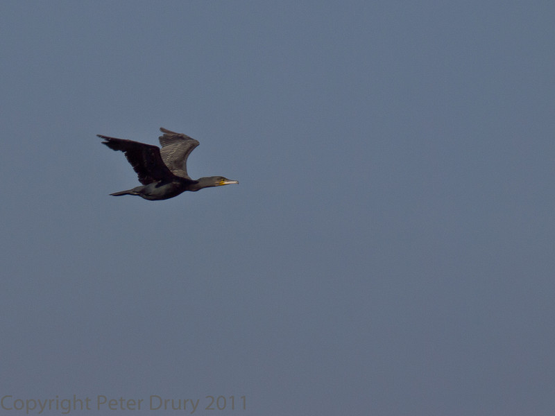 15 Oct 2011 Cormorant at the Oysterbeds.