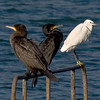 Cormorant (Phalacrocorax carbo. Copyright 2009 Peter Drury<br /> Keeping company with a Little Egret<br /> Langstone Harbour