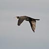 Cormorant (Phalacrocorax carbo). Copyright 2009 Peter Drury