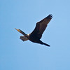 Cormorant (Phalacrocorax carbo). Copyright Peter Drury 2010<br /> Seen flying over Portsdown Hill on its way to the coast.