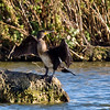 Cormorant (Phalacrocorax carbo). Copyright 2009 Peter Drury<br /> Seen in Budds Farm Lagoon, Southmoor, Hampshire. This is the classic pose following a dive, reminiscent of that of pre-historic animals.