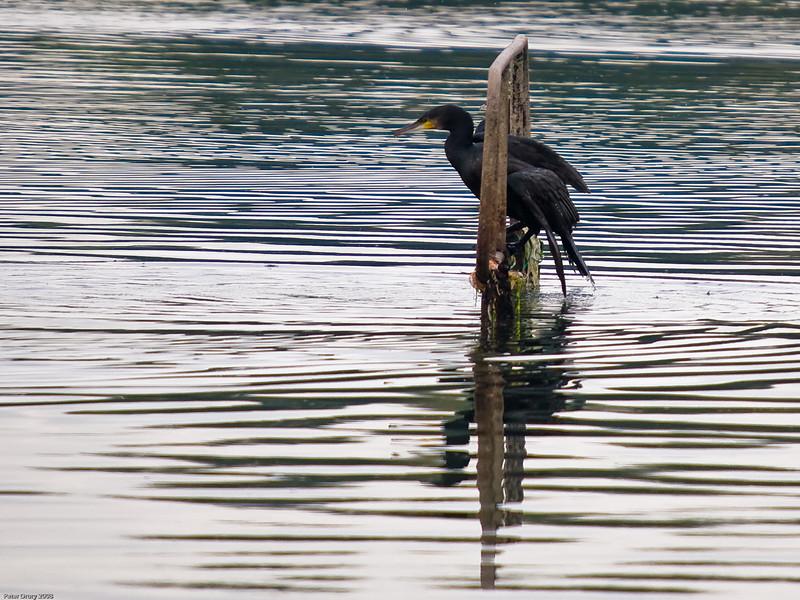 Cormorant (Phalacrocorax carbo. Copyright 2009 Peter Drury<br /> Langstone Harbour