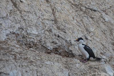 Antarctic Cormorant - Antarctica