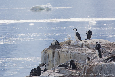 Adelie Penguin, Snowy Sheathbill & Atlantic Cormorant - Antarctica