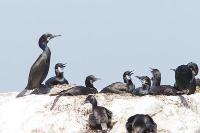 Brandt's Cormorant - Monterey, CA, USA