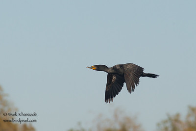 Double-crested Cormorant in flight - Finney/Ramer Lakes - Salton Sea, CA, USA