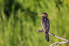 Double-crested Cormorant - Weslaco, TX, USA