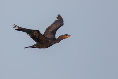Double-crested Cormorant - Record - Caye Caulker, Belize