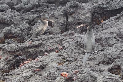 Flightless Cormorant - Punta Albemarle, Isla Isabela, Galapagos, Ecuador