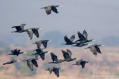 Great Cormorants - Maharashtra, India