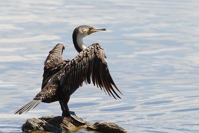Great Cormorant - Lake Nakuru Naional Park, Kenya