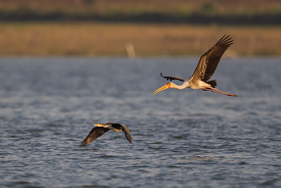 Great Cormorant & Painted Stork in flight - Ameenpur Lake, Hyderabad, India