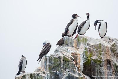 Guanay Cormorant - Pucusana, Peru