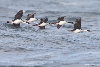 Imperial Cormorant - Chile