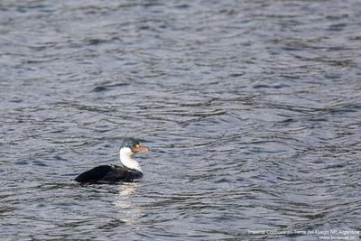 Imperial Cormorant - Tierra del Fuego NP, Argentina