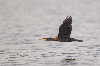 Indian Cormorant in flight - Ameenpur Lake, Hyderabad, India