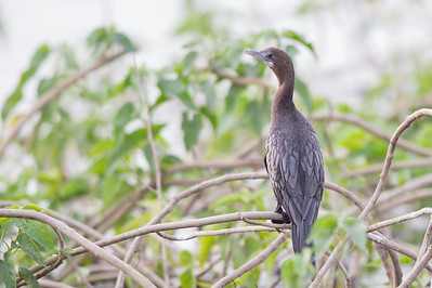 Little Cormorant - Ambazari backwaters, Nagpur, India