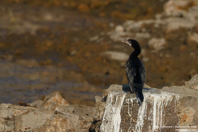 Little Cormorant - Maharashtra, India