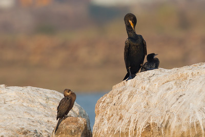 Indian and Little Cormorants - Ameenpur Lake, Hyderabad, India