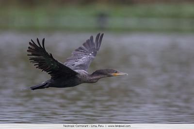 Neotropic Cormorant - Lima, Peru