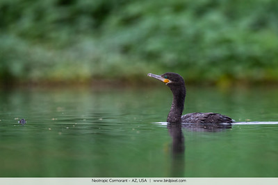 Neotropic Cormorant - AZ, USA